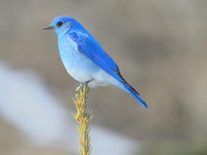 mountain bluebird image